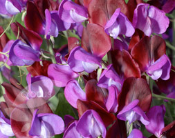 Click to view product details and reviews for Lathyrus Odoratus Aposcupaniapos Sweet Pea Seed Cupaniaposs Original.