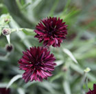 Centaurea cyanus Black Ball