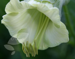 Cobaea Scandens F.Alba (Cup And Saucer Plant)