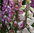 Digitalis purpurea Excelsior Group