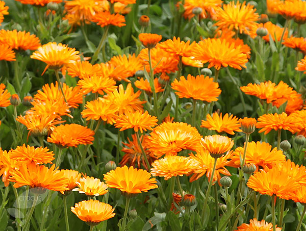 buy pot marigold calendula officinalis delivery by crocus. Black Bedroom Furniture Sets. Home Design Ideas