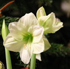 Hippeastrum (Galaxy Group) Limona (PBR)