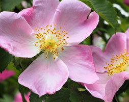 Rosa Canina (Dog Rose Hedging (Shrub) - 25 Plants - 30-40Cm)