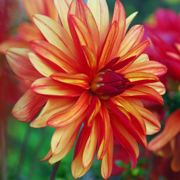 double flowered dahlia tuber
