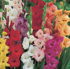 Gladiolus mixed colours
