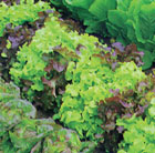lettuce (mixed)