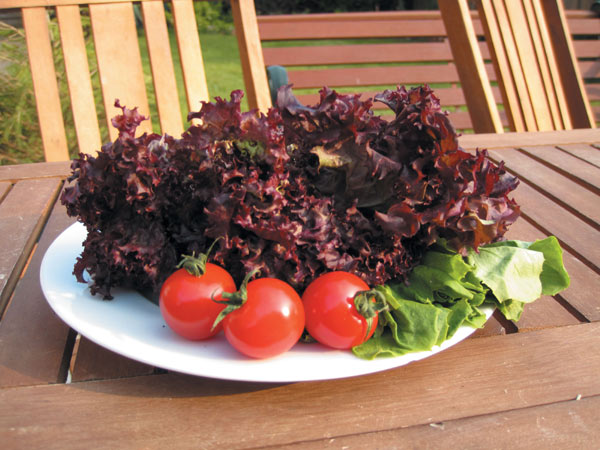 lettuce (cut and come again) / Lactuca sativa 'Lollo Rossa'