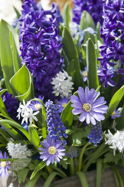 winter windflower blue-flowered bulbs