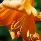 Lilium (African Queen Group)