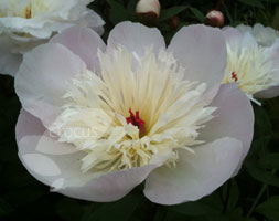 Paeonia Lactiflora 'Immaculee' (Peony)