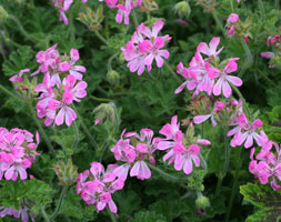 Pelargonium 'Pink Capricorn' (Scented-Leaved Pelargonium)