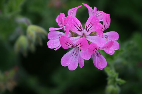 scented-leaved pelargonium