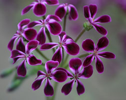 Pelargonium 'Lawrenceanum' (Species Pelargonium)