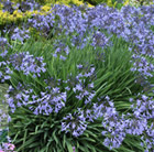 Agapanthus Castle of Mey