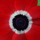 Anemone coronaria (De Caen Group) Hollandia