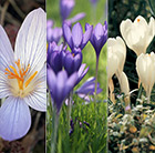 Autumn flowering crocus collection