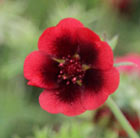 Potentilla thurberi Monarch's Velvet