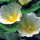Alcea rosea Polarstar (Spotlight Series)