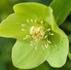 Helleborus × hybridus Harvington lime