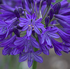 Agapanthus Northern Star (PBR)