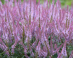 Veronicastrum 'Adoration'