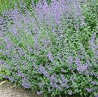 Nepeta racemosa Walker's Low