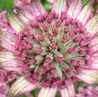 Astrantia major Penny's Pink