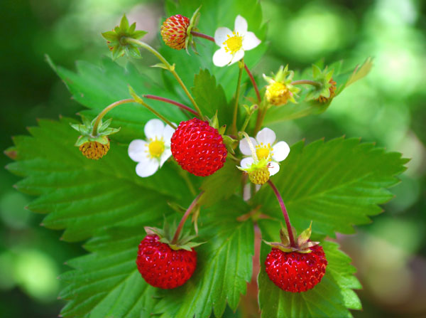 alpine strawberry - woodland
