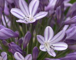 Click to view product details and reviews for Agapanthus Aposmeganaposs Mauveapos African Lily.