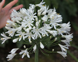 Click to view product details and reviews for Agapanthus Aposwhite Heavenapos Pbr African Lily.