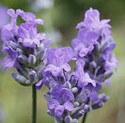 Lavandula angustifolia Blue Cushion ('Schola') (PBR)