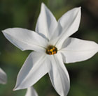 Ipheion Alberto Castillo