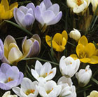 Crocus species - mixed colours