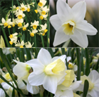 Sweetly scented narcissus