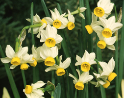 Narcissus Canaliculatus (Species Daffodil Bulbs)