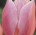 Tulipa Early Glory