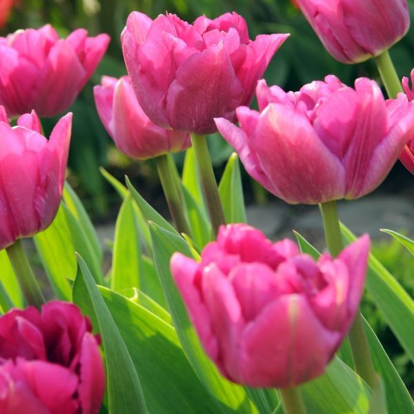 Buy double early tulip bulbs tulipa 39 margarita 39 delivery for Tulipe bulbe