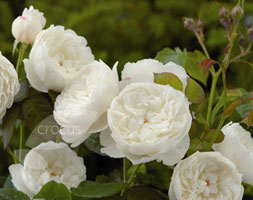 Rosa William And Catherine ('Ausrapper') (Pbr) (Rose William &Amp; Catherine (Hybrid Musk))