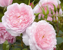 Rosa Lady Salisbury ('Auscezed')  (Pbr) (Rose Lady Salisbury (Shrub))