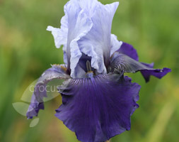 Iris 'Best Bet' (Bearded Iris)