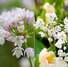 Dainty Allium collection