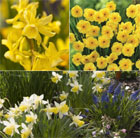 Award-winning scented miniature daffodil collection