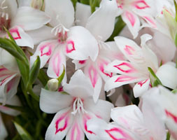 Click to view product details and reviews for Gladiolus Aposnymphapos Gladioli Bulbs.