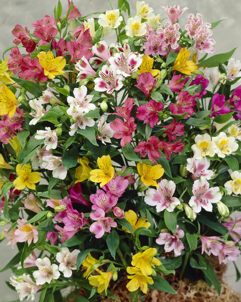 alstroemeria bulbs