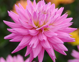 Click to view product details and reviews for Dahlia Aposkarma Pink Coronaapos Pbr Decorative Dahlia Tuber.
