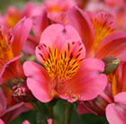 Alstroemeria Sirius (Planet Series)