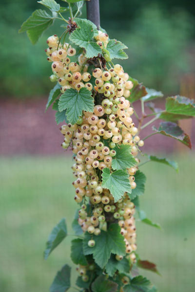 white currant Versailles Blanche