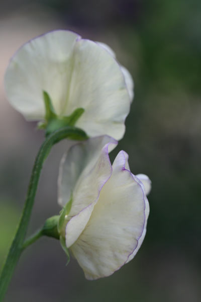 modern grandiflora sweet pea (syn. King's High Scent)