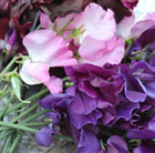 Velvet sweet pea collection