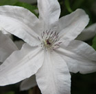 Clematis Beautiful Bride (PBR)
